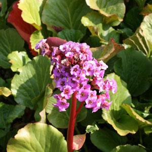 Perennials Plants & Herbaceous Perennials