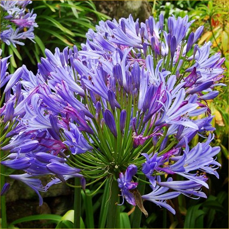 Agapanthus Charlotte African Lily Charlotte In Gardentags
