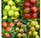 SPECIAL DEAL - APPLE TREE - Lucky Dip Lost Label Plants