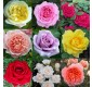 WINTER SALE - Luxury Garden Roses - Premier Collection - Pack of SIX Different Bush Roses