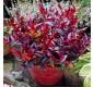 Leucothoe Zeblid Scarletta Plants - Perfect for Patio Planters