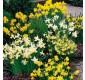 SPECIAL DEAL - 150 x Narcissus Dwarf Rockery Mixture - Daffodils