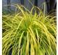 Carex 'Everillo' - Evergreen Japanese Sedge - Pack of THREE Plants