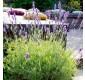 Lavender Platinum Blonde - Multi-Award winning Hardy Evergreen variegated - LARGE SPECIMEN