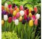 WINTER SALE - 25 x Mega Mix Tulips
