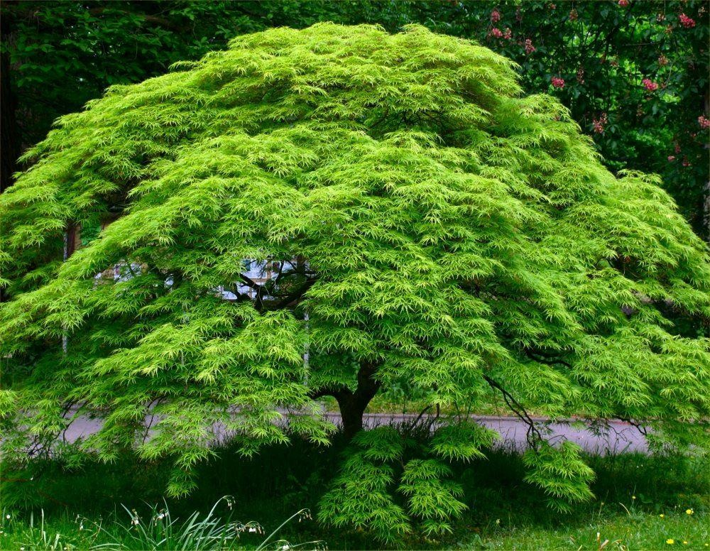 Large Acer Japanese Maple Tree Emerald Lace Garden Plants