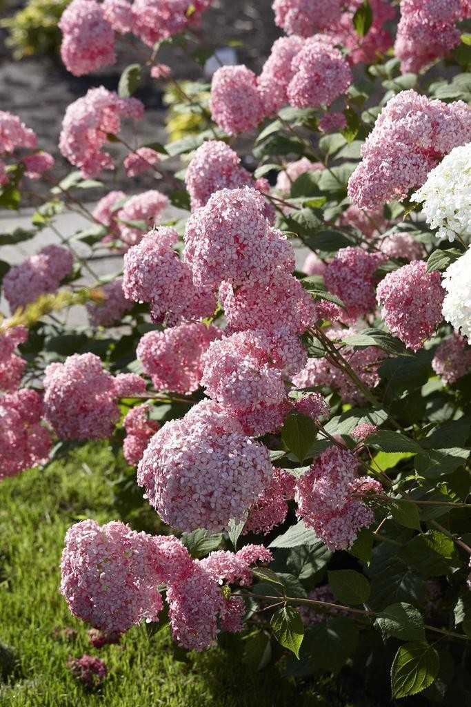 hydrangea arborescens pink annabelle invincibelle spirit. Black Bedroom Furniture Sets. Home Design Ideas