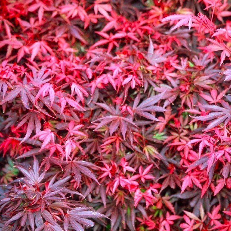 Acer Palmatum Skeeters Broom Japanese Maple