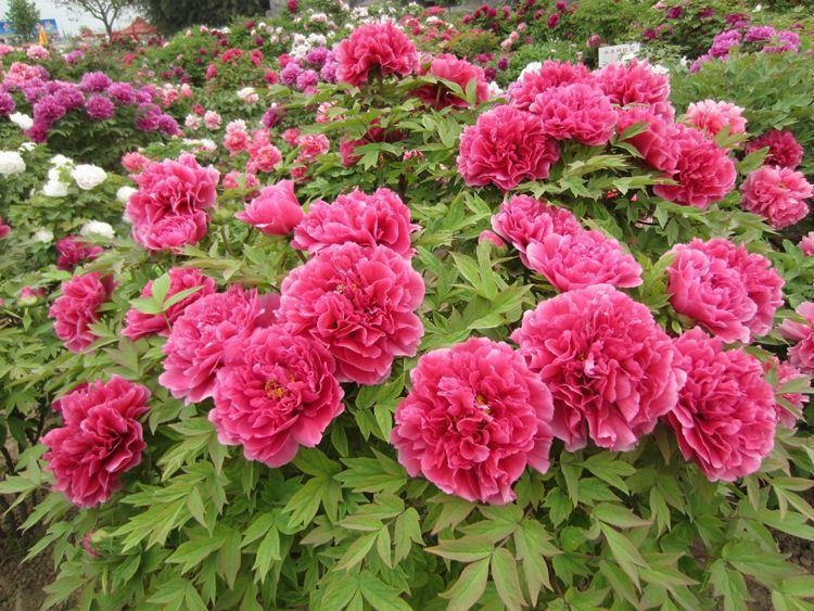 tree peony selection collection of three plants paeonia suffruticosa. Black Bedroom Furniture Sets. Home Design Ideas