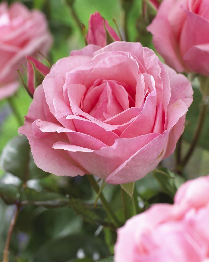 rose queen elizabeth floribunda rose. Black Bedroom Furniture Sets. Home Design Ideas