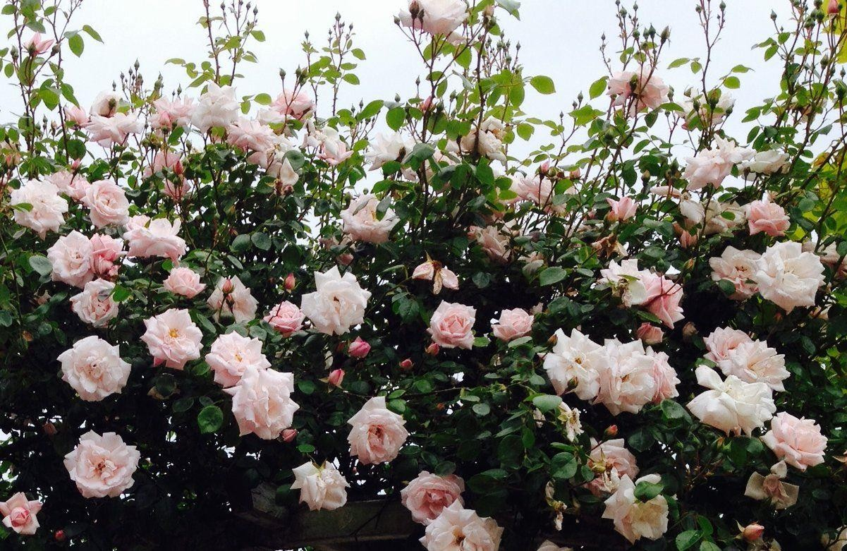 rose new dawn climbing rose. Black Bedroom Furniture Sets. Home Design Ideas