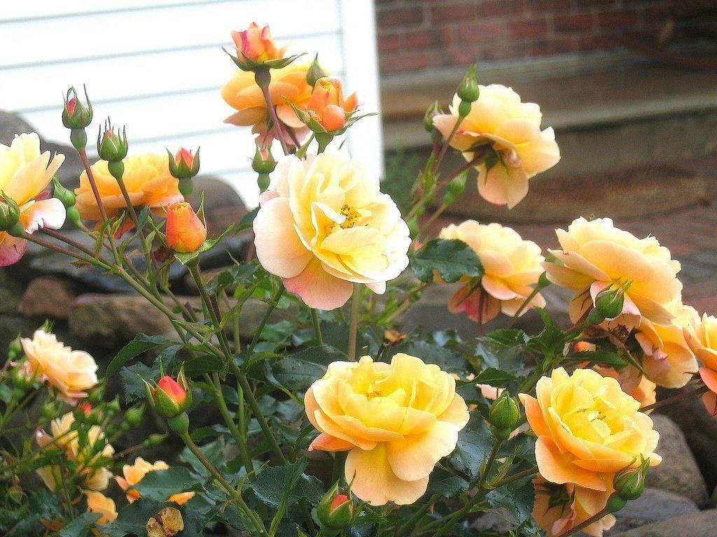 Rose flower carpet amber mightylinksfo Image collections