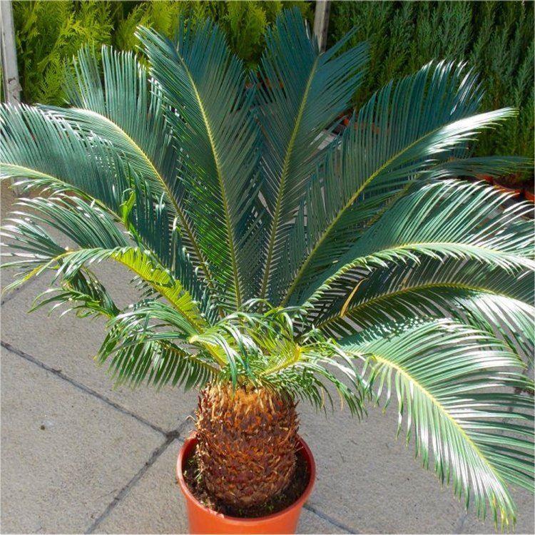 giant cycad cycas revoluta king sago palm tree. Black Bedroom Furniture Sets. Home Design Ideas