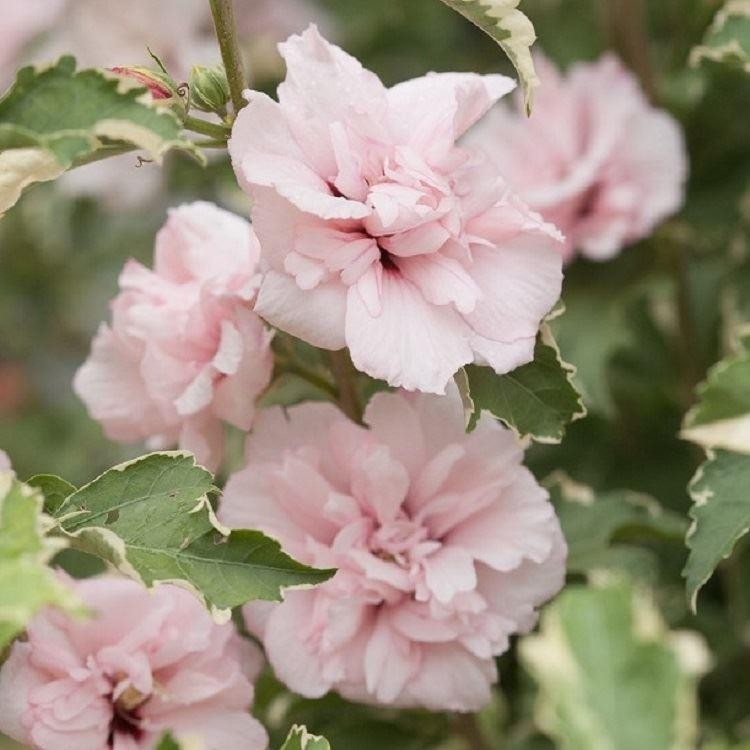 New Exclusive Hibiscus Sugar Tip Rose Of Sharon Double