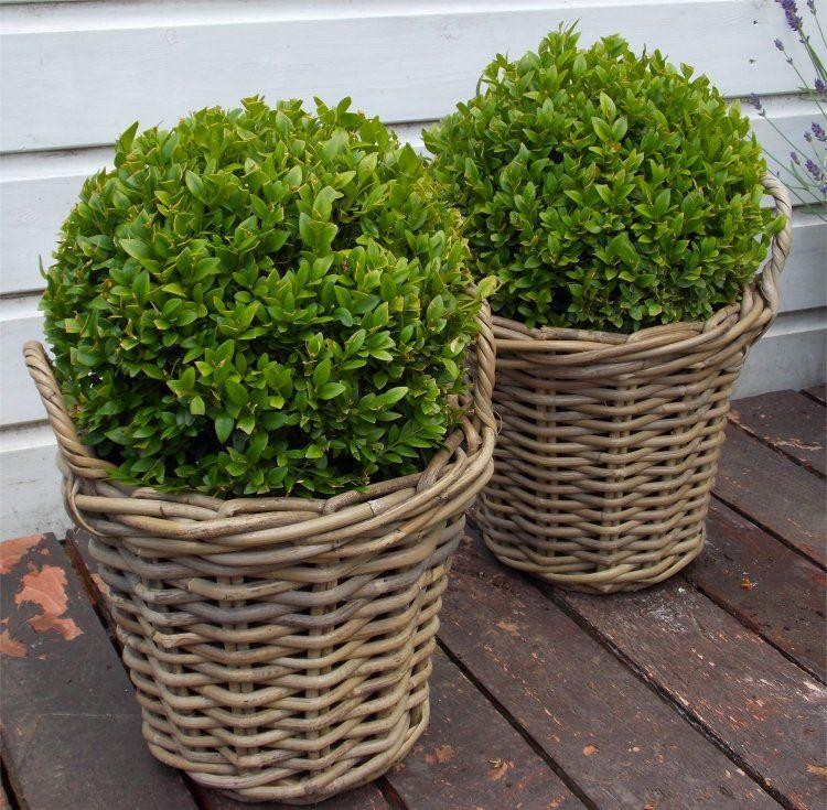 Pair Of Topiary Box Balls With Stylish Cane Baskets