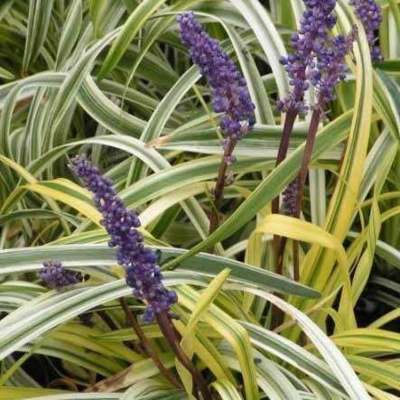 Liriope Muscari Variegata Variegated Lily Turf