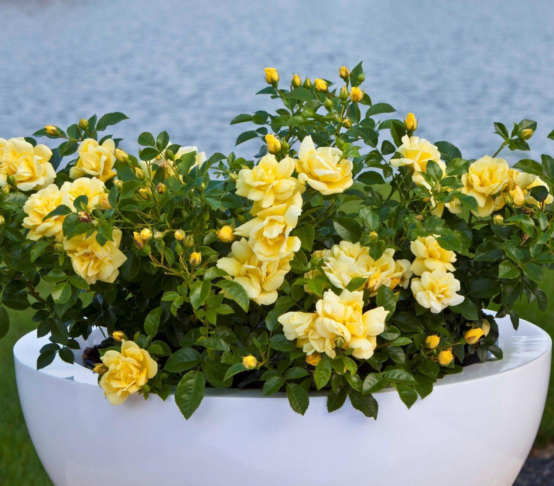 Rose Flower: Rose Flower Carpet Gold