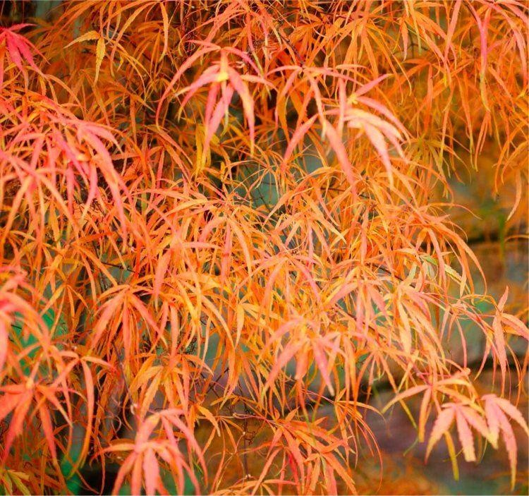 Special Deal Acer Palmatum Koto No Ito Japanese Maple