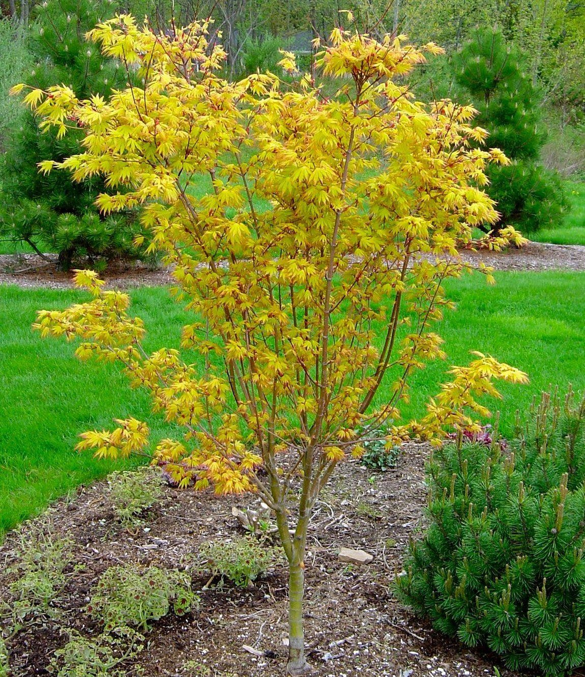 Acer Palmatum Orange Dream