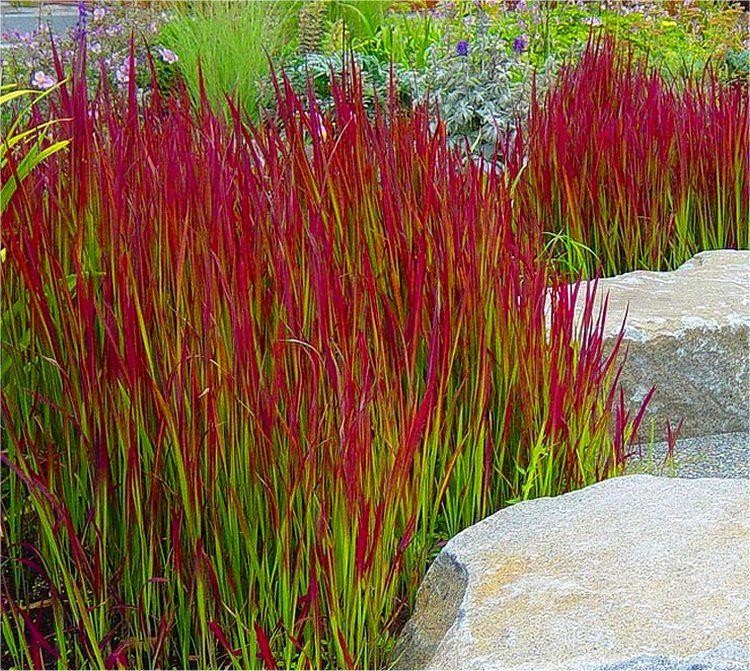 imperata cylindrica red baron pack of three japanese blood grasses. Black Bedroom Furniture Sets. Home Design Ideas