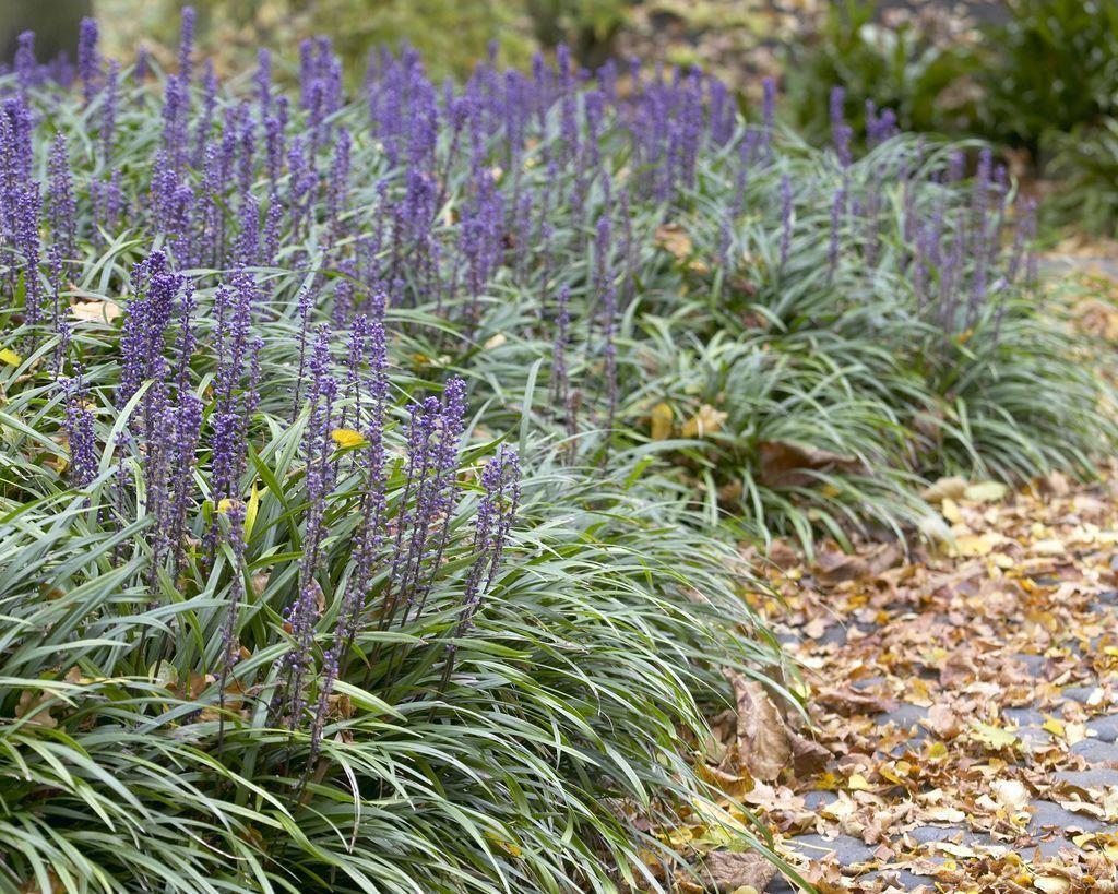 Liriope Muscari Big Blue Lily Turf Pack Of Three Plants