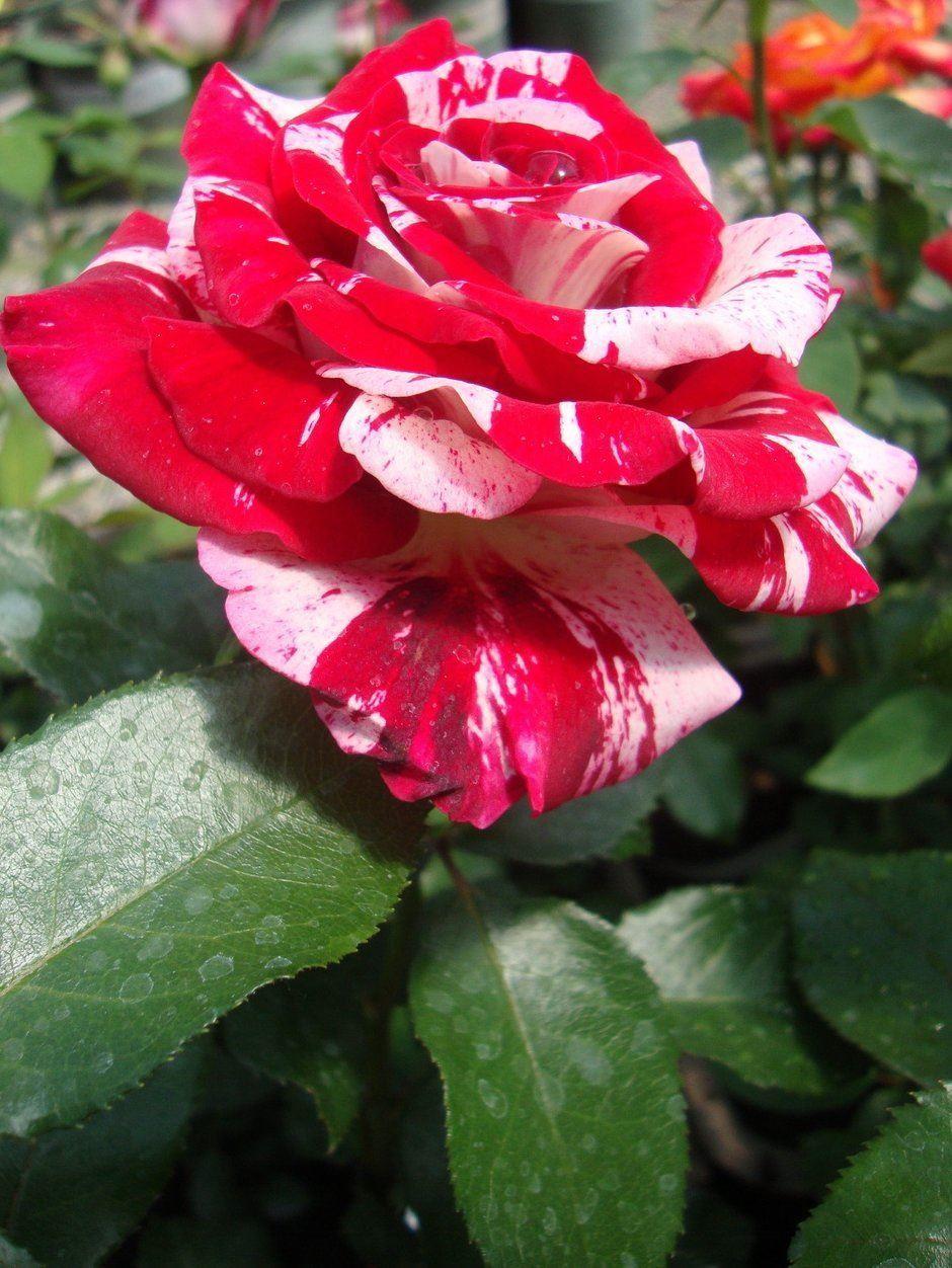 Rose Rock And Roll Floribunda Rose
