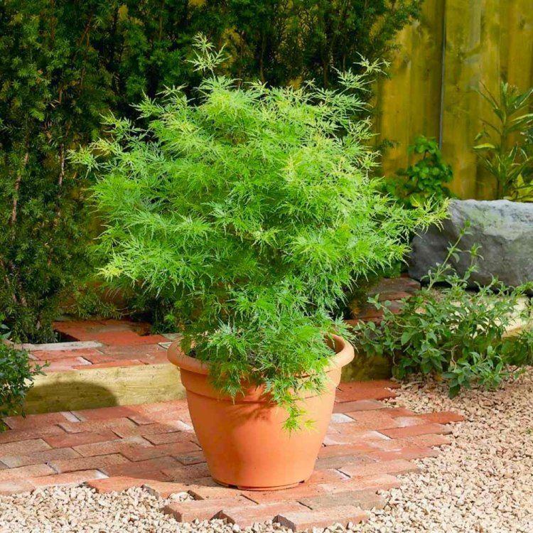 Acer Palmatum Dissectum Seiryu