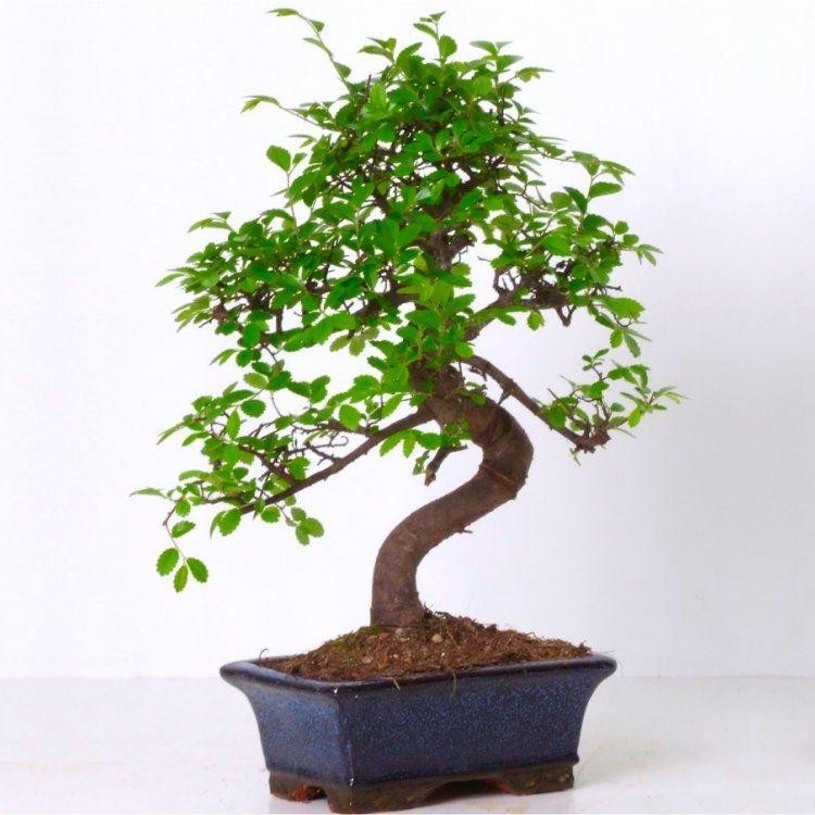 Beautiful Curved S Shape Bonsai Tree With Glazed Dish