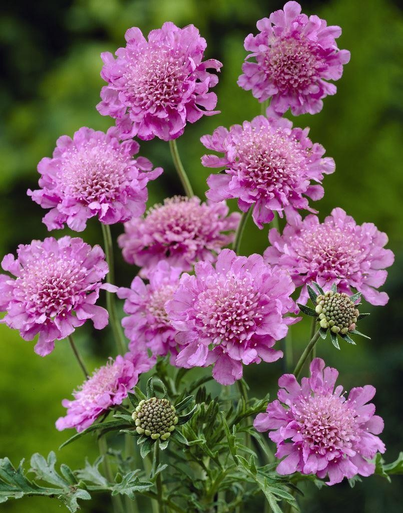 Picture of Live Pincushion Flower aka Scabiosa Pink Mist Plant Fit 1GAL Pot