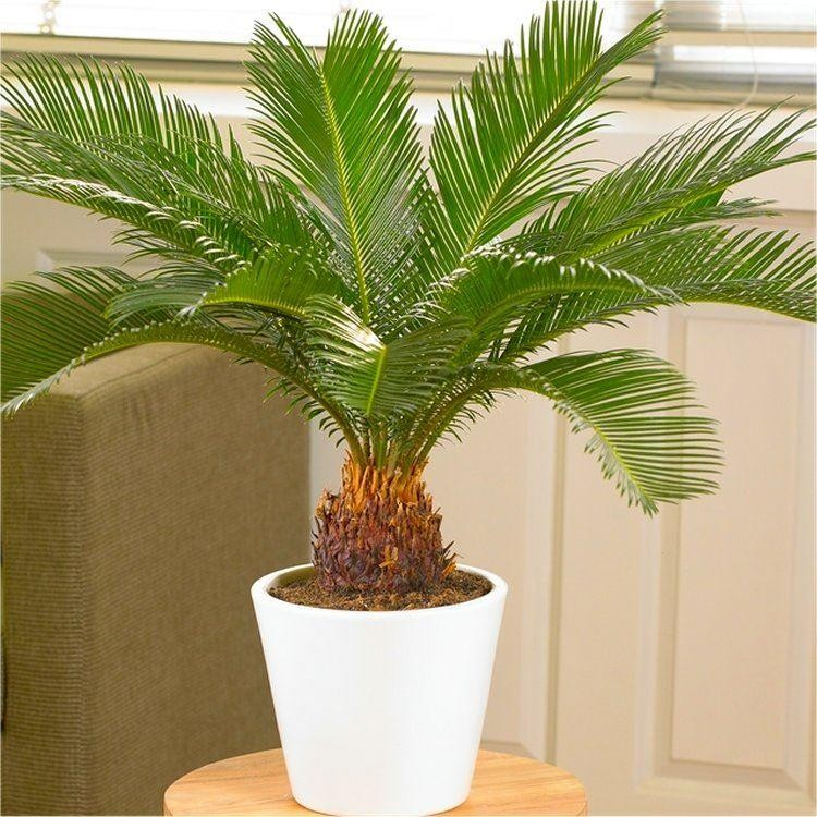cycad cycas revoluta king sago palm tree 30 50 cms. Black Bedroom Furniture Sets. Home Design Ideas