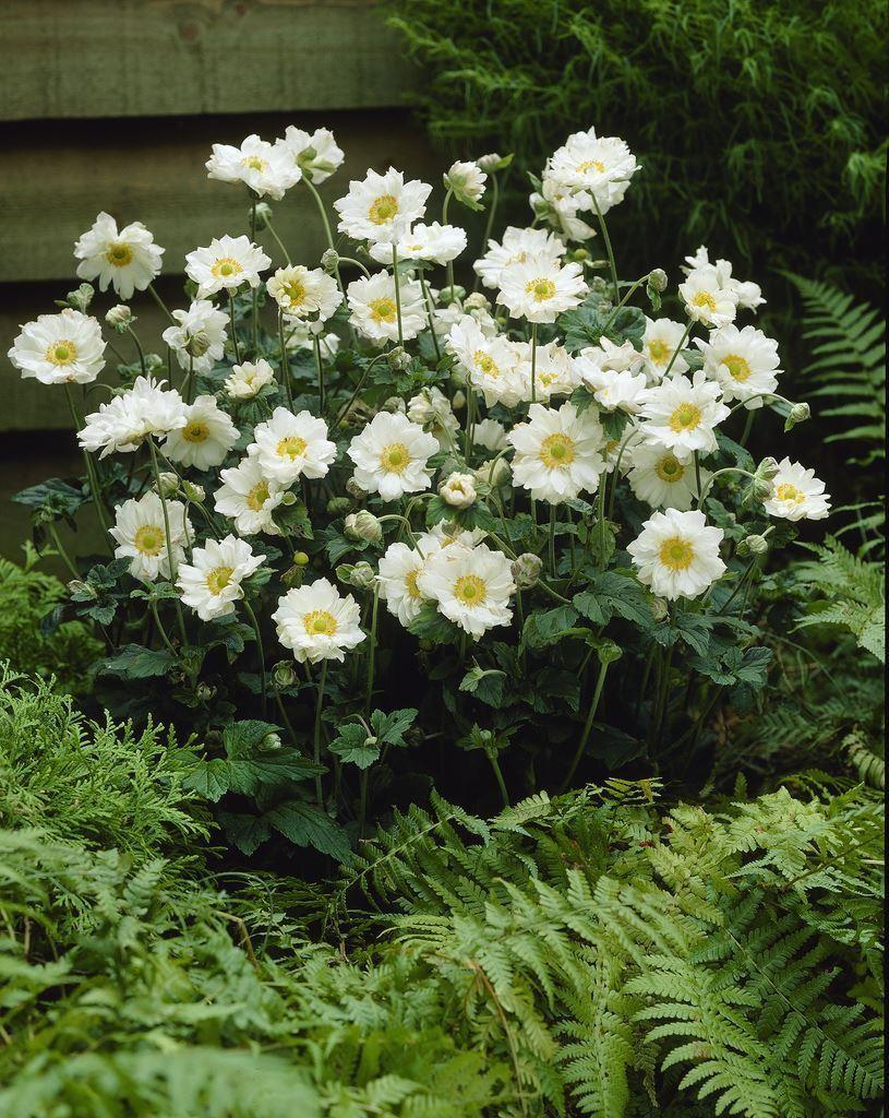anemone x hybrida 39 whirlwind 39 japanese anemone. Black Bedroom Furniture Sets. Home Design Ideas