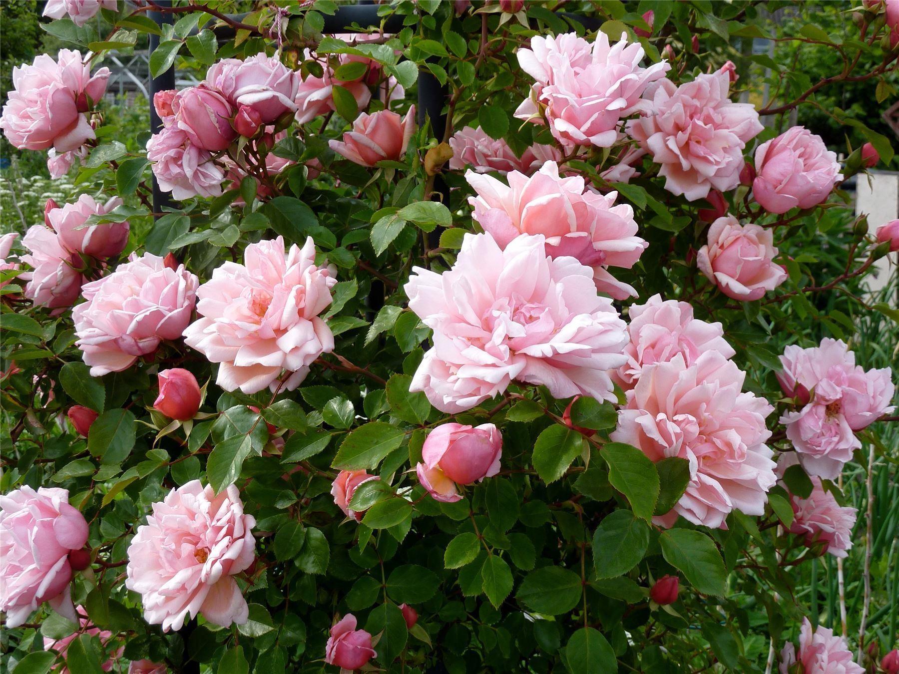 rose albertine climbing rambling rose. Black Bedroom Furniture Sets. Home Design Ideas