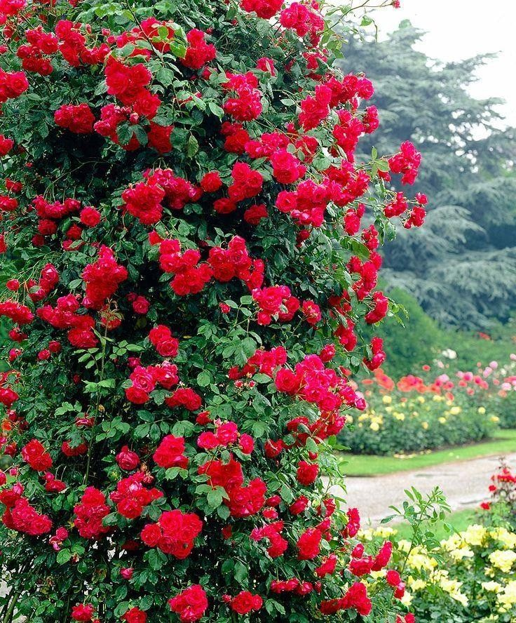 Climbing Rose Ascending RED