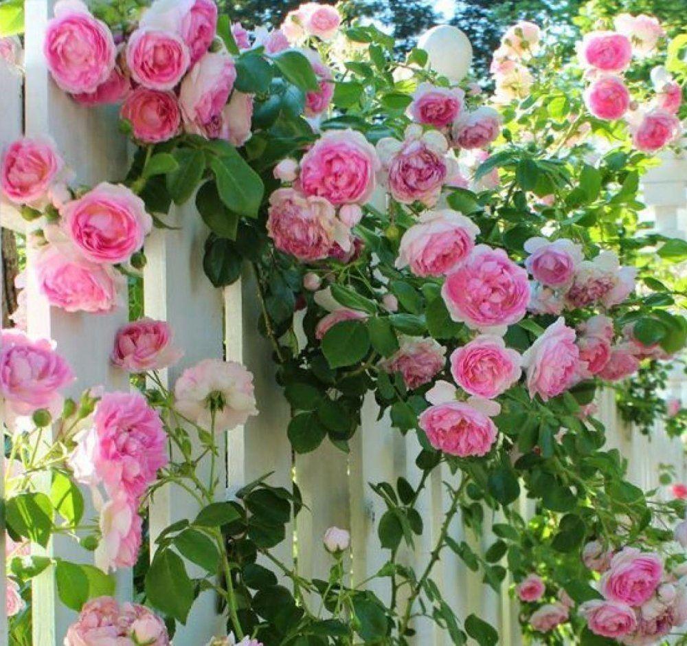 Rose Pierre de Ronsard - Climbing Rose