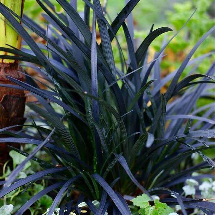 Ornamental Grasses Ophiopogon planiscapus nigrescens black ornamental grass ophiopogon planiscapus nigrescens black ornamental grass ophiopogon nigra workwithnaturefo