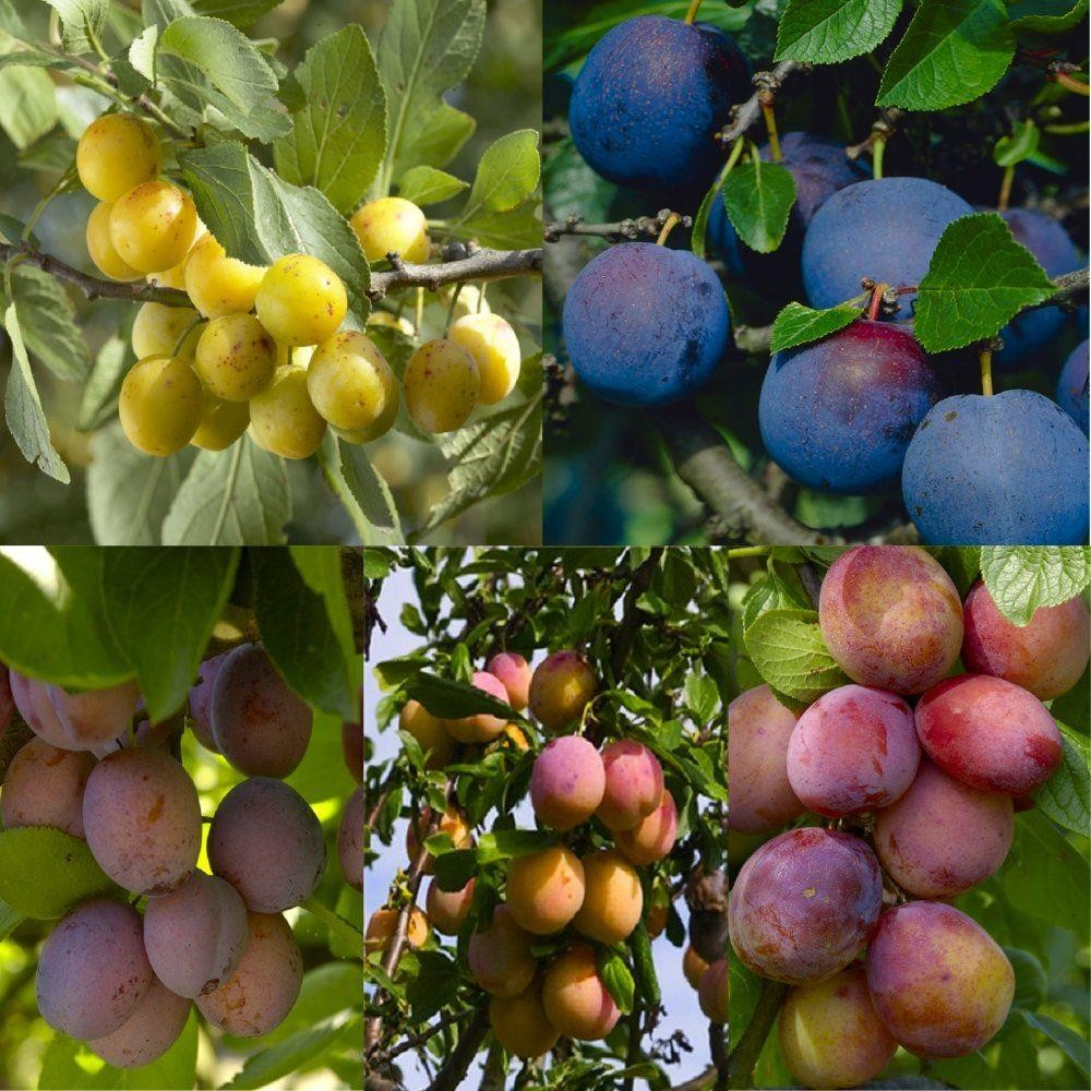 PLUM TREE - Multi-Variety Fruit Tree - PLUM - 5 varieties on one Tree! -  Garden Plants