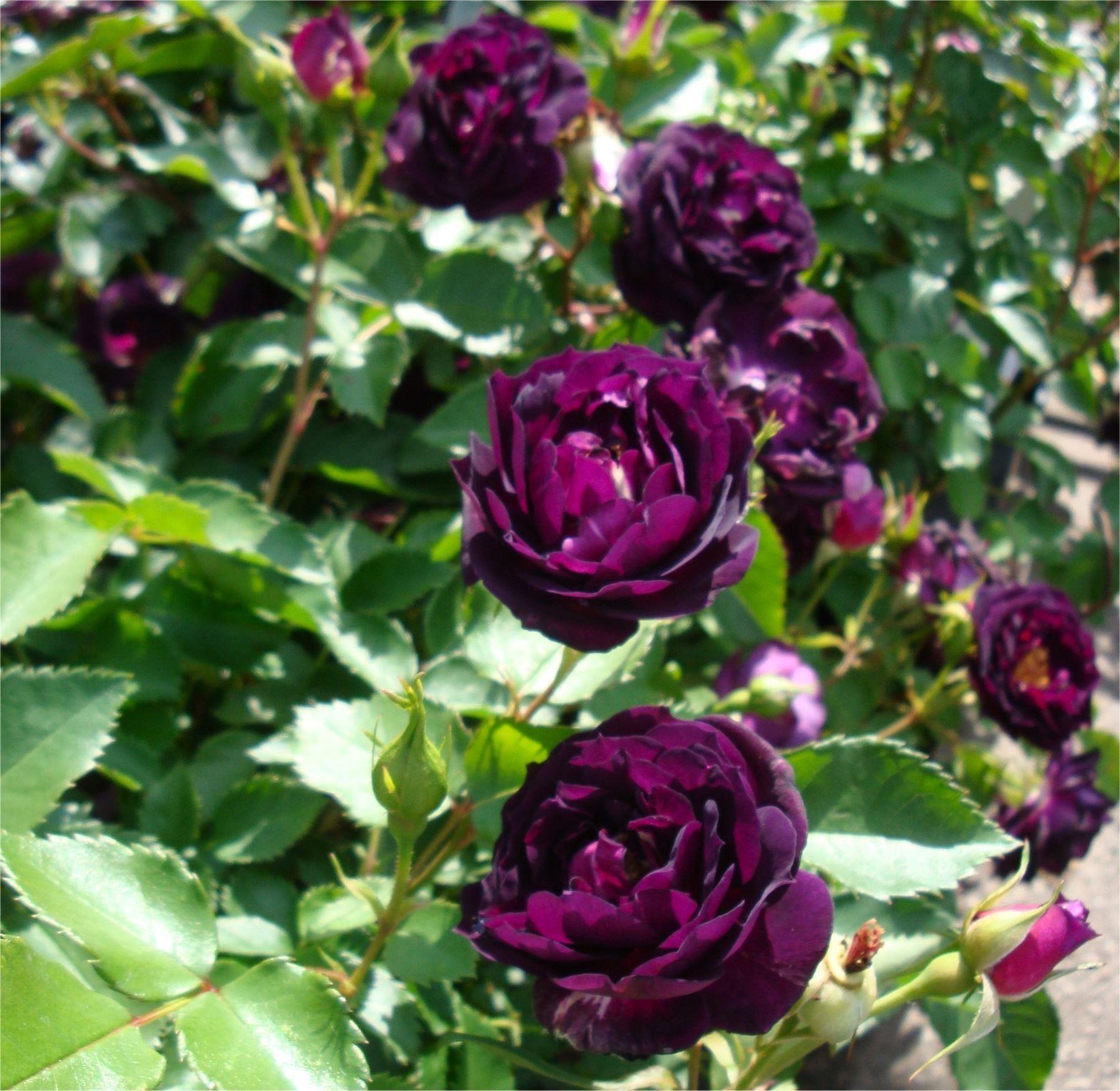 Rose midnight blue shrub rose izmirmasajfo