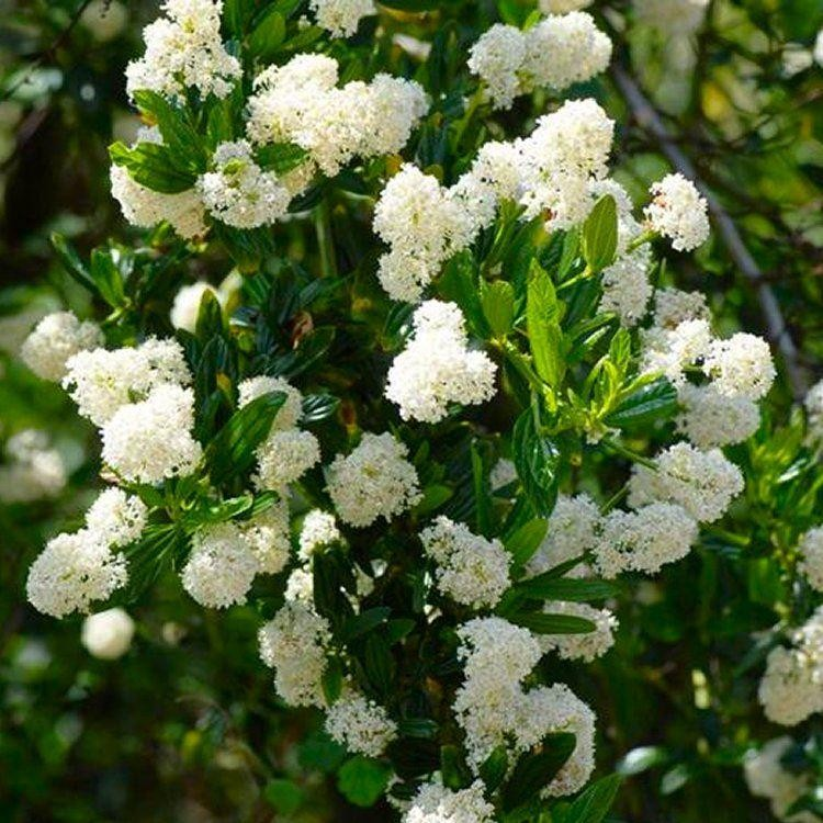 Ceanothus Thyrsiflorus Millerton Point Snow Flurries Evergreen White