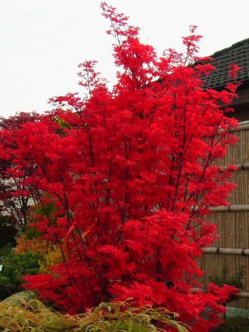 Mature Japanese Maple Tree For Sale Uk