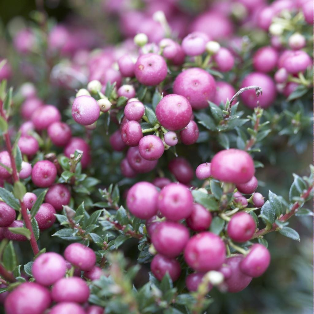 Pernettya Pink.Pernettya Mucronata Rosy Pink Evergreen Prickly Heath Berry Plants Garden Plants