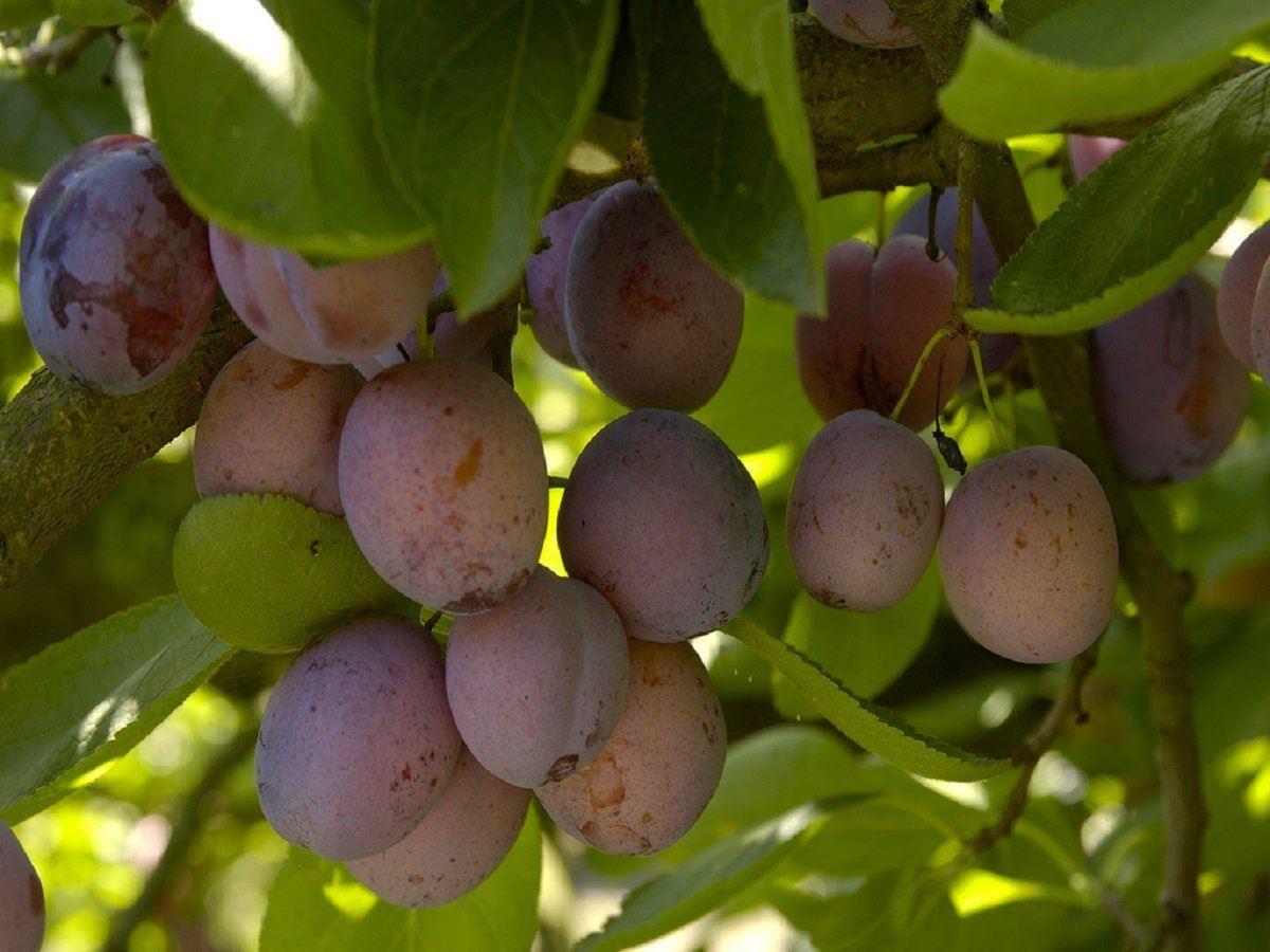 PLUM TREE - Multi-Variety Fruit Tree - PLUM - 5 varieties on one Tree!