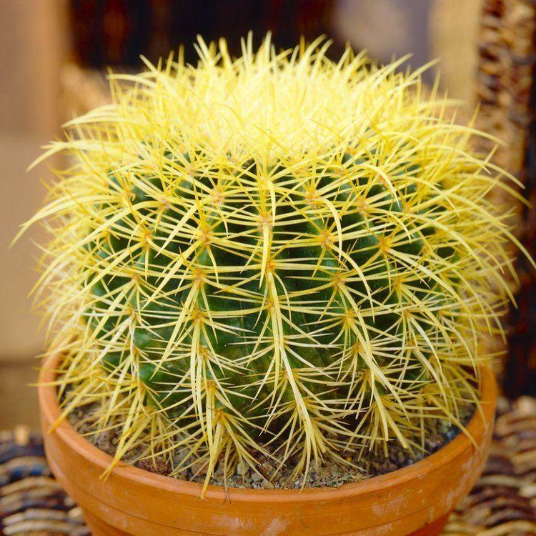 Hasil gambar untuk Golden Barrel Cactus