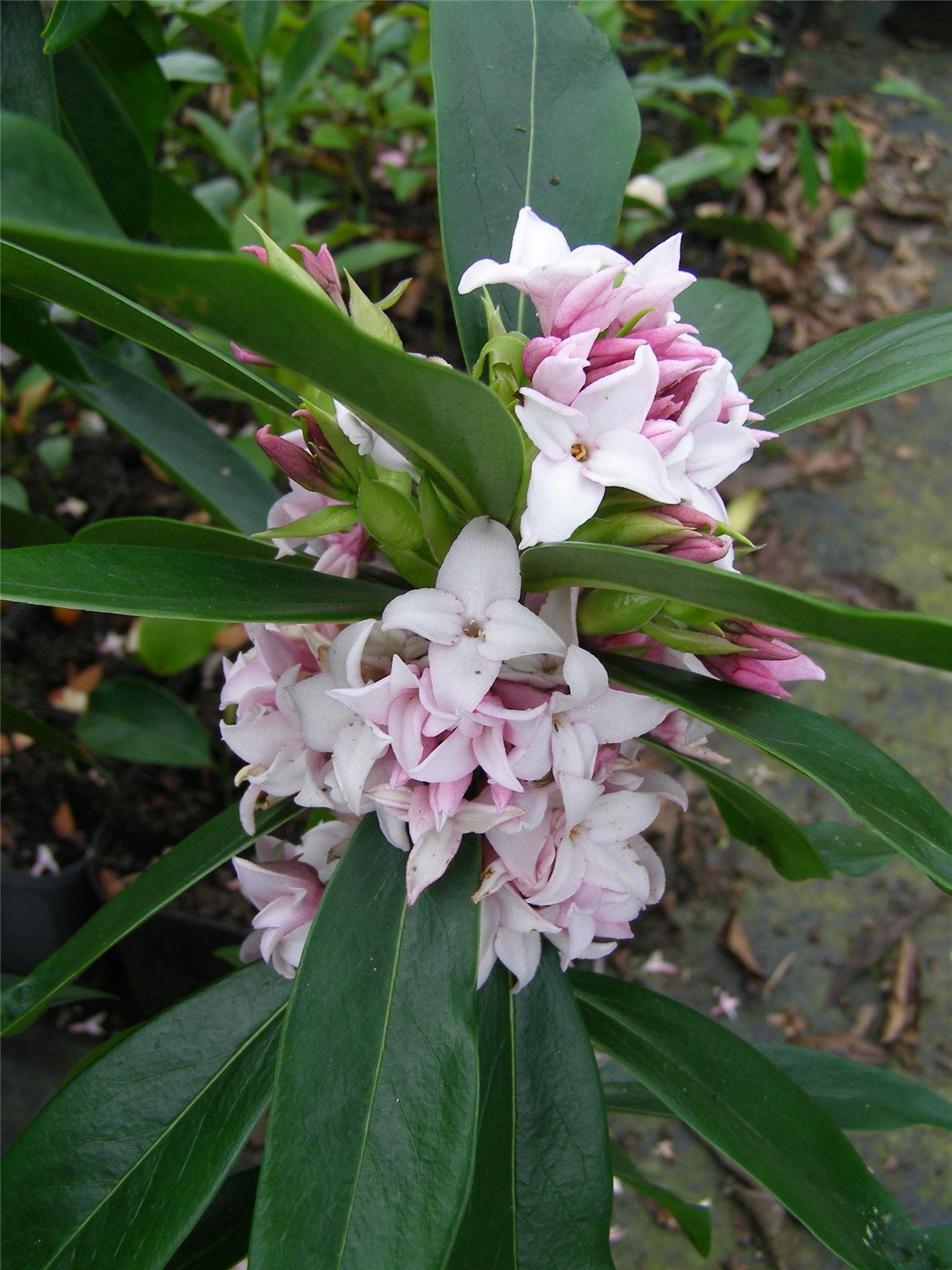Daphne Perfume Princess Worlds Most Fragrant Shrub New Variety