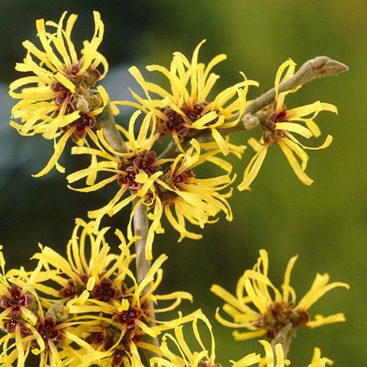 Hamamelis Mollis Pallida Witch Hazel Garden Plants