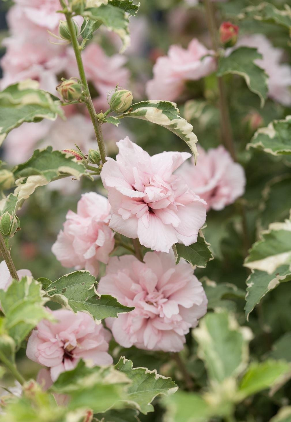 New exclusive hibiscus sugar tip rose of sharon double flowering variegated hibiscus new exclusive hibiscus sugar tip rose of sharon double flowering variegated hibiscus izmirmasajfo