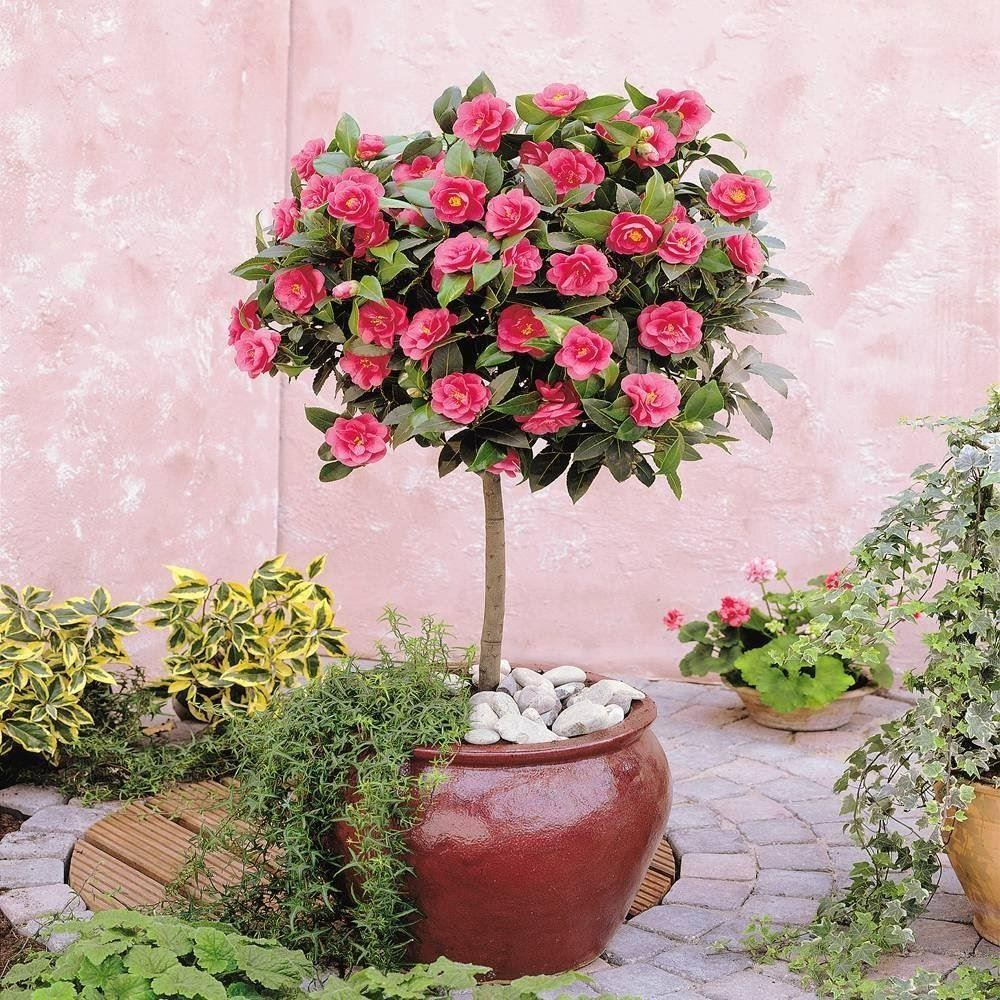 Camellia tree standard pink flowering spring festival for Garden plants