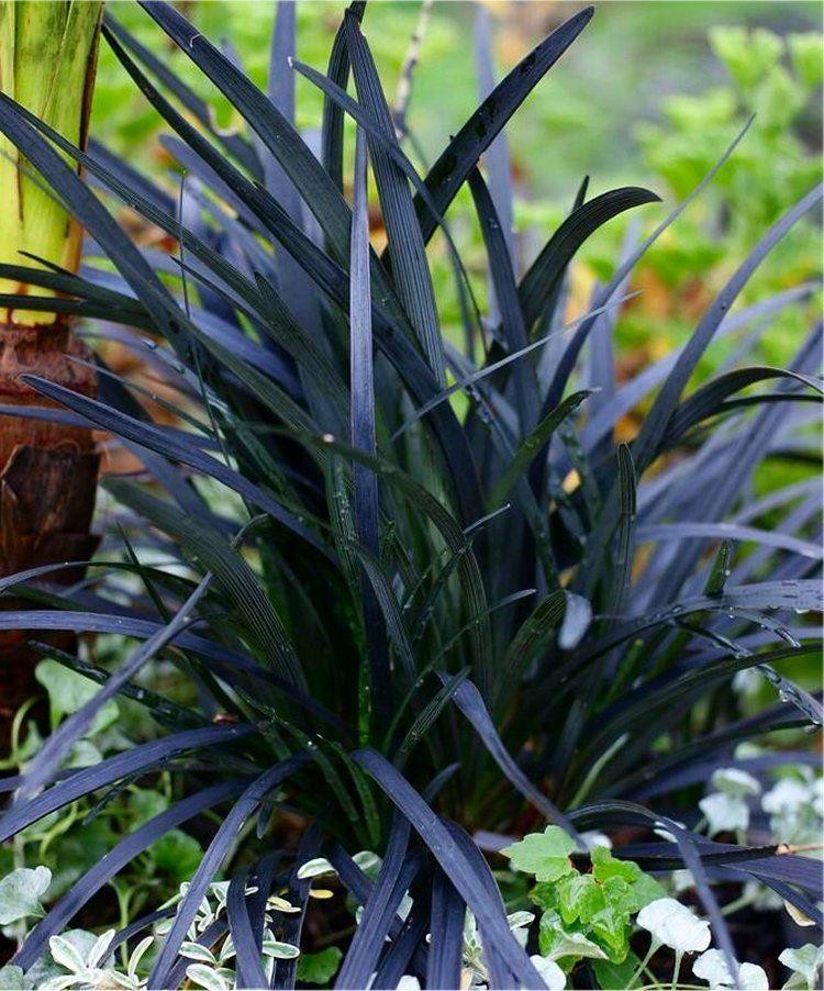 Small Ornamental Grasses With Purple Flowers Ophiopogon plan...