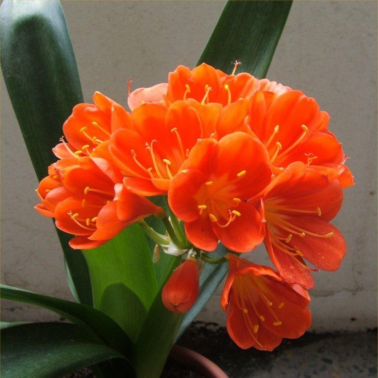SPECIAL DEAL - Large Clivia Plant in Bud & Bursting in to Flower