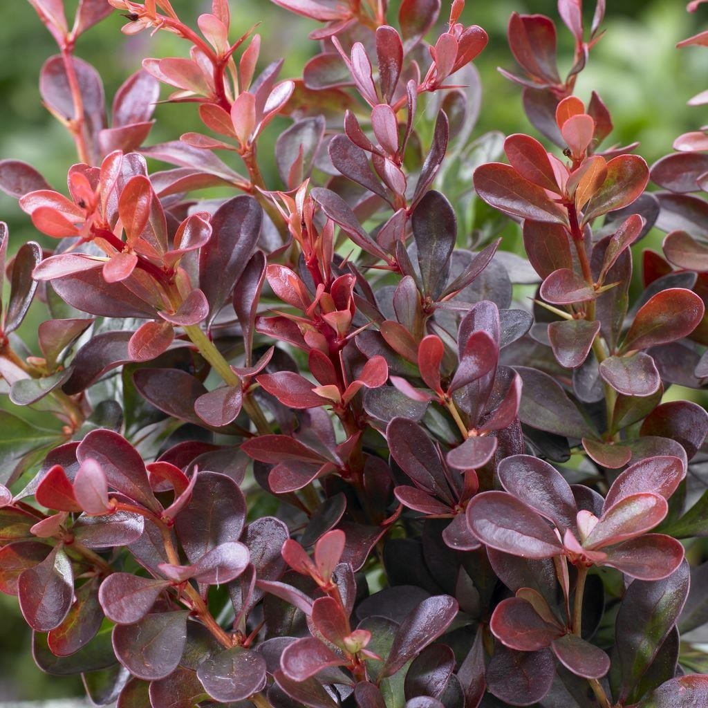 berberis thunbergii atropurpurea nana dwarf purple barberry. Black Bedroom Furniture Sets. Home Design Ideas