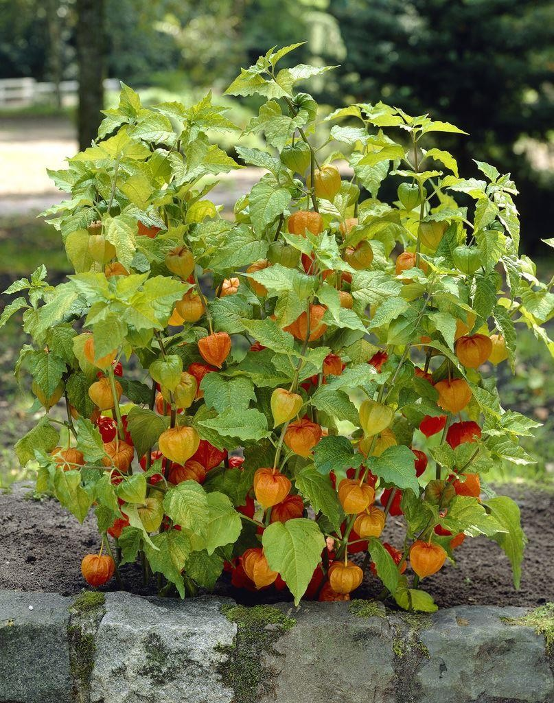 Physalis franchetii chinese lantern for Garden plants